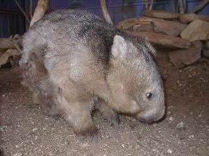 Deutsch: Bild eines australischen Wombats