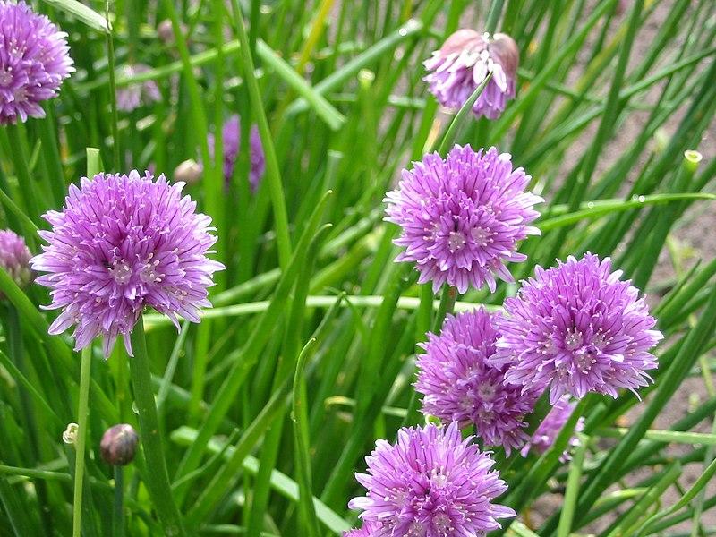 File:Allium schoenoprasum, flowers.jpg