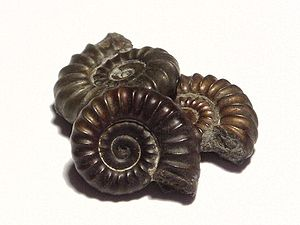 Three small ammonite fossils, each approximate...