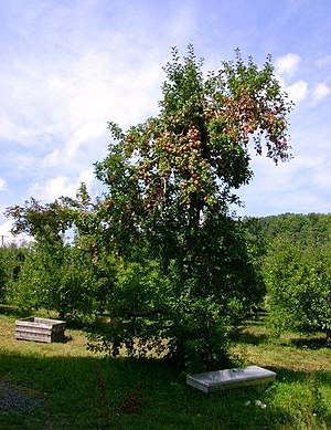 English: An apple tree loaded with apples in i...