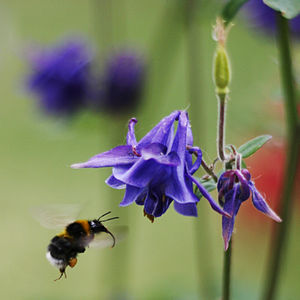 Bumblebee pollinating Aquilegia vulgaris