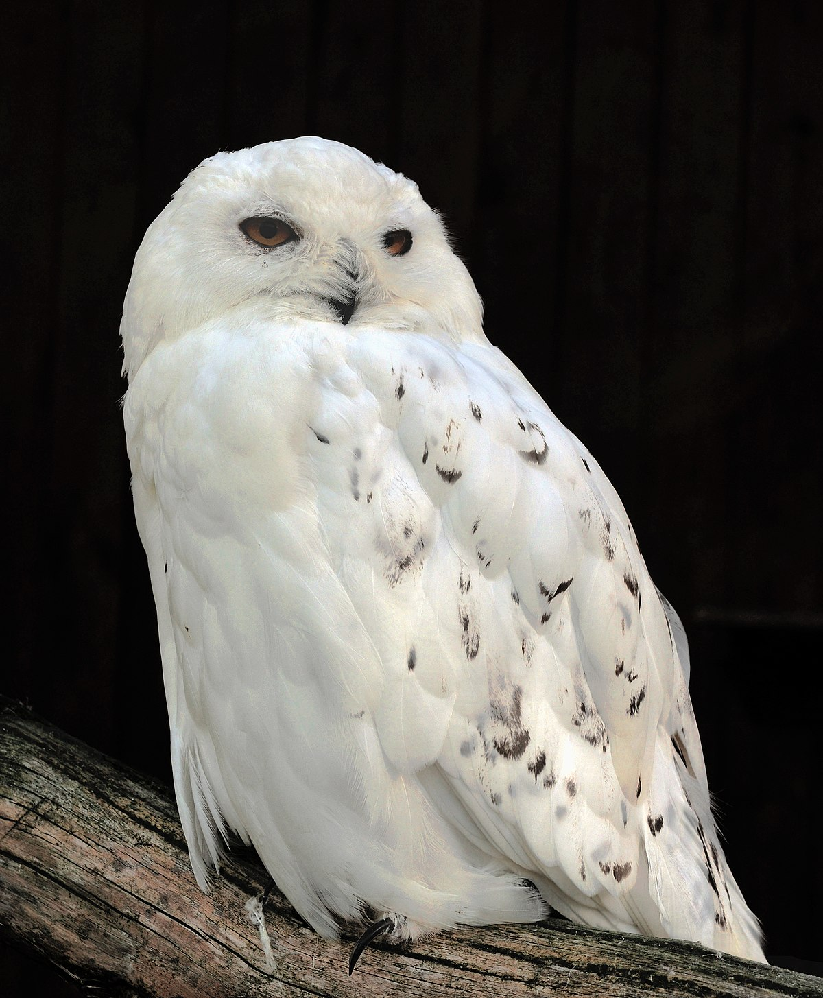 Snow Owl Small Pictures