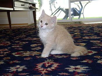 A Ginger Kitten looking very cute