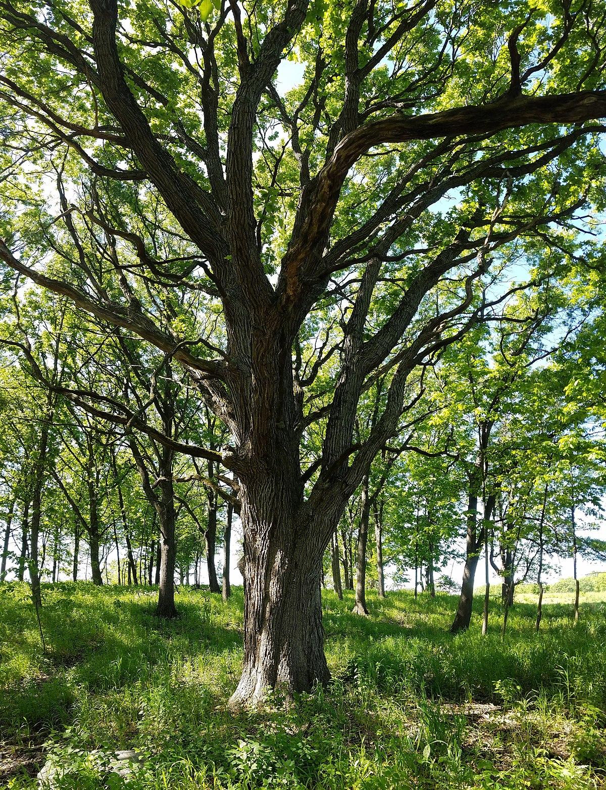 Oak woodland  Wikipedia