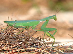 Praying mantis, Sphodromantis viridis. Picture...