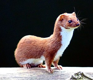 English: Least Weasel (Mustela nivalis) at the...