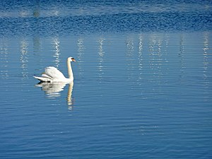 English: Mute Swan, Lymington Mute swan glidin...