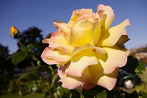 English: Rosa 'Peace' - hybrid tea rose; Peace...