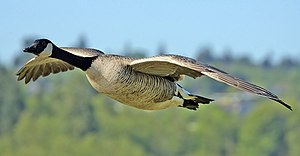 English: A Canada Goose flying at Burnaby Lake...
