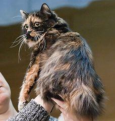 Photo of a Cymric Cat