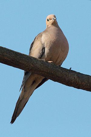 A mourning dove (Zenaida macroura), taken in U...