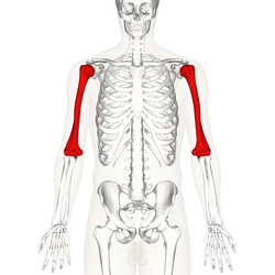 horse muscle and bone diagram flow powerpoint template humerus wikipedia