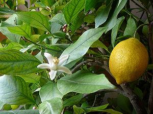 Lemon - fleur et fruit