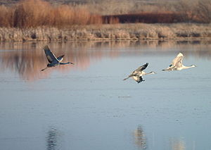 Sandhill Cranes (Grus canadensis) coming in fo...