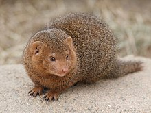 Dwarf mongoose Korkeasaari zoo.jpg