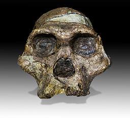Cara de la Señora Ples, una Australopithecus africanus