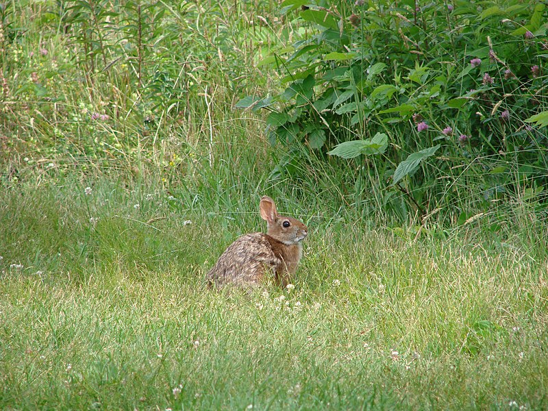 File:New England cottontail.jpg