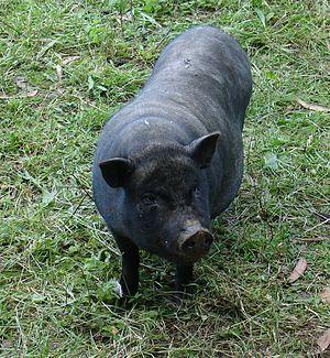 Porco do Vietname