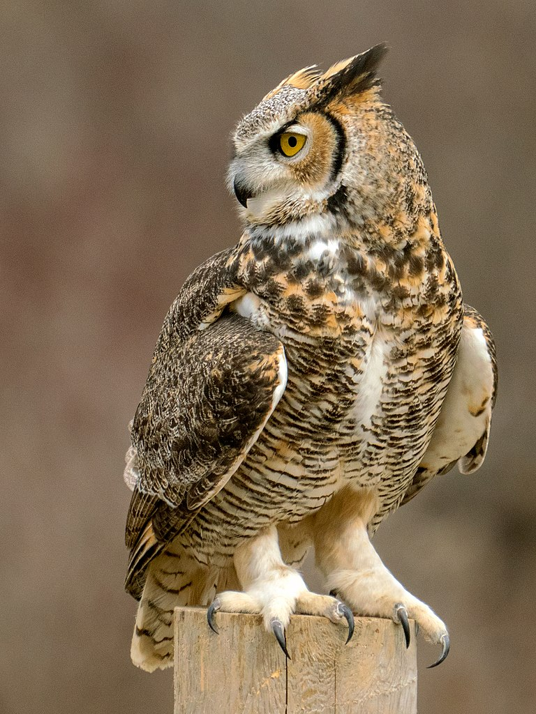 Cute Baby Live Wallpaper File Talons Great Horned Owl Jpg Wikimedia Commons