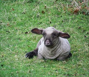 English: Too young for mint sauce A very young...