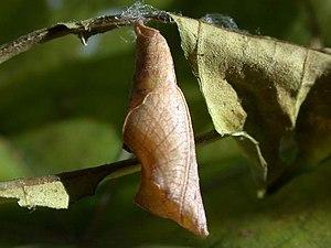 Ariadne merione chrysalis