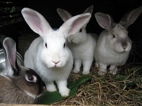 Four rabbits. Image via Wikipedia.