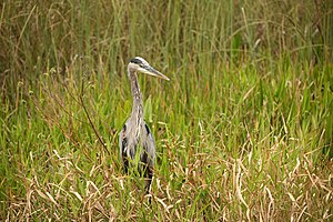 English: Great Blue Heron
