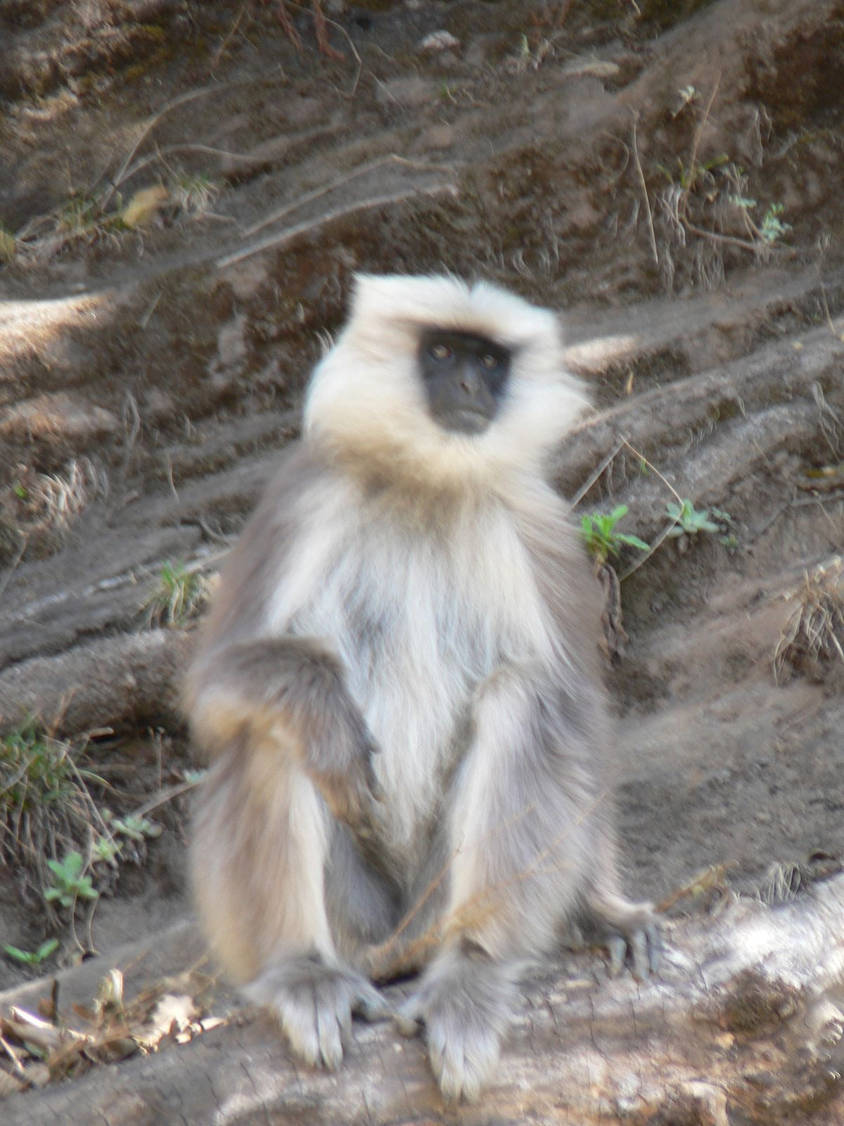 Nepal gray langur  Wikipedia