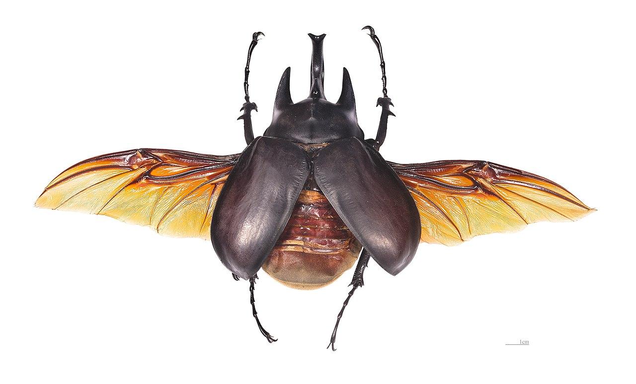 hornet anatomy diagram redarc dual battery system wiring file megasoma actaeon mhnt male vol jpg wikimedia commons