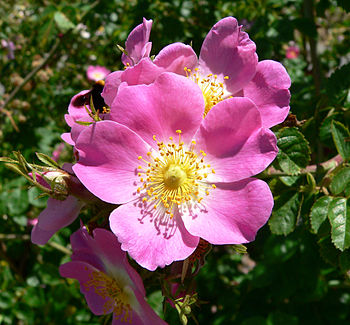 Rosa rubiginosa at the San Jose Heritage Rose ...