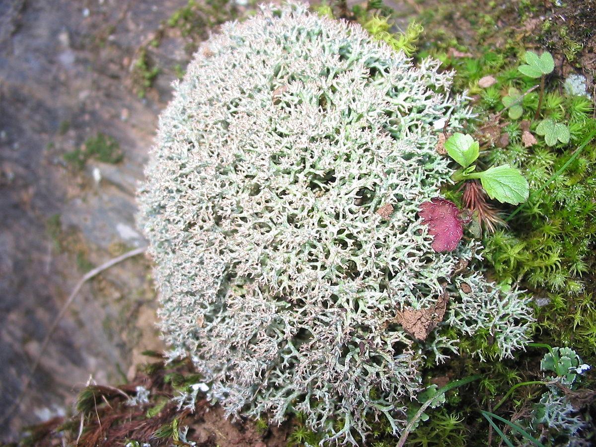 Cladonia stellaris  Wikispecies