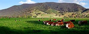 Česky: Krávy na krásné zelené louce English: C...