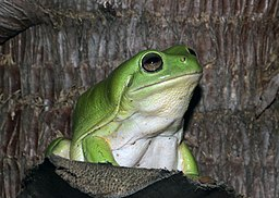Green Tree Frog (Litoria caerulea) (8691380381)