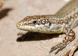 Portrait of a Wall lizard (Podarcis muralis