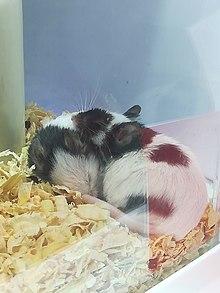 Pig Ear Notch Chart : notch, chart, House, Mouse, Wikipedia