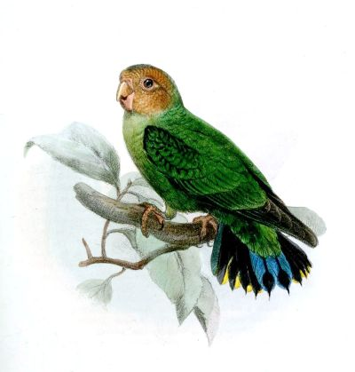Buff-faced pygmy parrot - Wikipedia