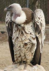vautour  Wiktionnaire