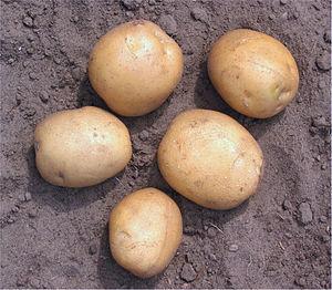 Potato cultivars