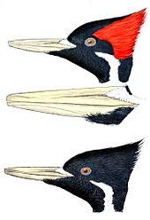 Rdr2 Wildlife Art Exhibition : wildlife, exhibition, Ivory-billed, Woodpecker, Wikipedia