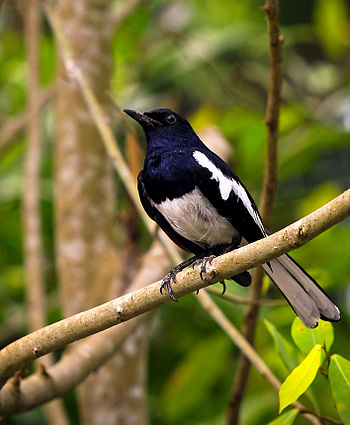 A male Oriental Magpie Robin in Malaysia.
