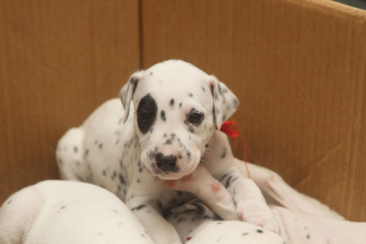 FileDalmatian puppy three weeks9JPG  Wikimedia Commons