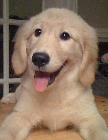 English: Golden retriever puppy, three months ...