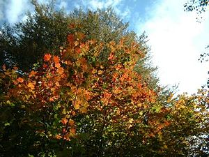 Acer saccharum (Sugar Maple) in autumn / Zucke...