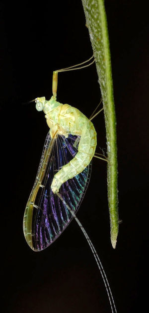 A mayfly (order Ephemeroptera) found on an Ole...