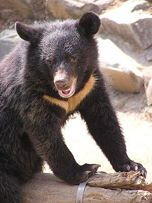 Formosan Black Bear.JPG