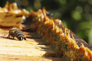 Propolis in beehives Português: Própolis em co...