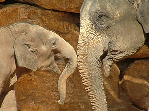 An Asian Elephant (Elephas maximus) and baby a...