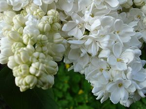 Unknown Syringa vulgaris white flowers and bud...