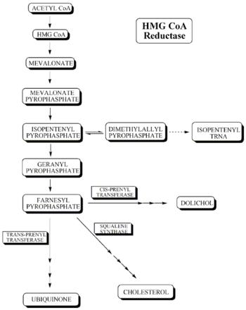 English: Cholesterol biosynthetic pathway.