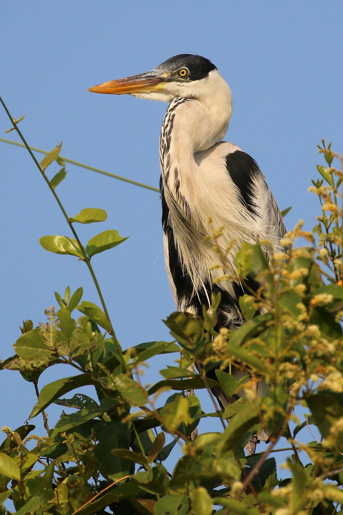 Cocoi heron  Wikipedia